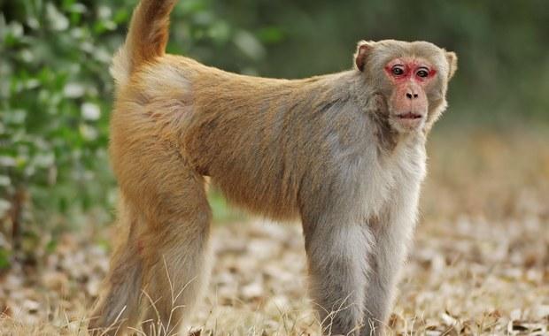 """Chińscy naukowcy """"uczłowieczyli"""" małpi mózg"""