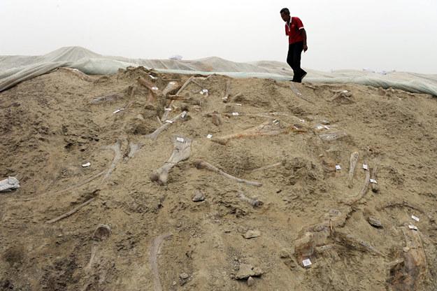 Chiński robotnik idzie po skarpie, w której znajduje się mnóstwo kości dinozaurów, Zhucheng, Chiny /AFP