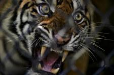 Chiny: Tygrysy zagryzły opiekuna i uciekły z parku rozrywki