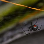 Chłopcy dali się ukąsić pająkowi, bo wierzyli, że staną się Spider-Manami