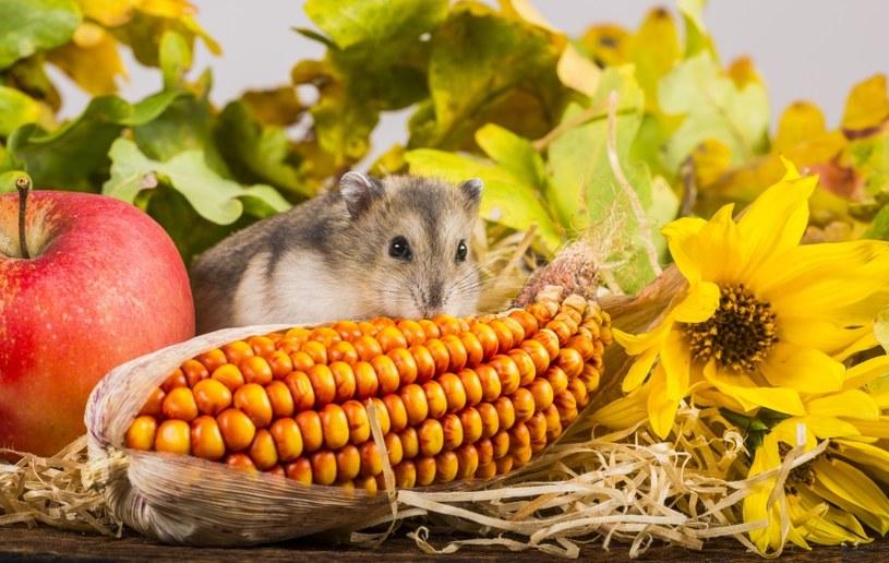Chomiki lubią owoce i warzywa /©123RF/PICSEL