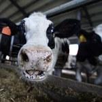 """Chore krowy trafiają do rzeźni, później na nasze stoły. Szokujący materiał """"Superwizjera"""""""