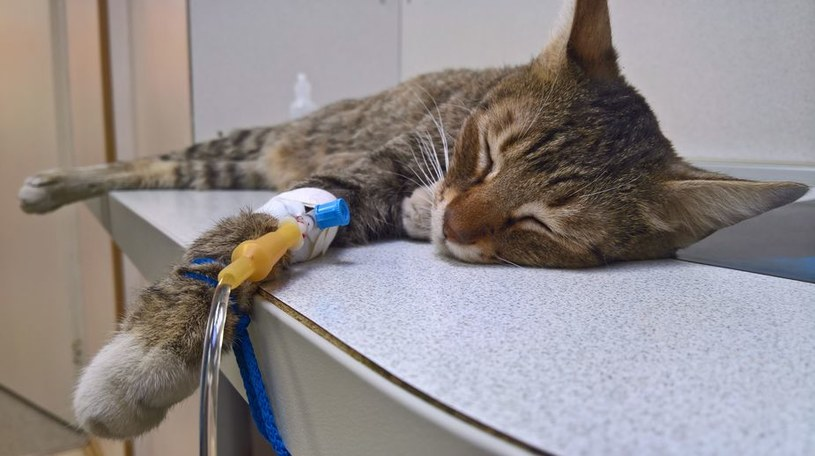 Chore nerki są bardzo niebezpieczne dla zdrowia i życia kota /123RF/PICSEL