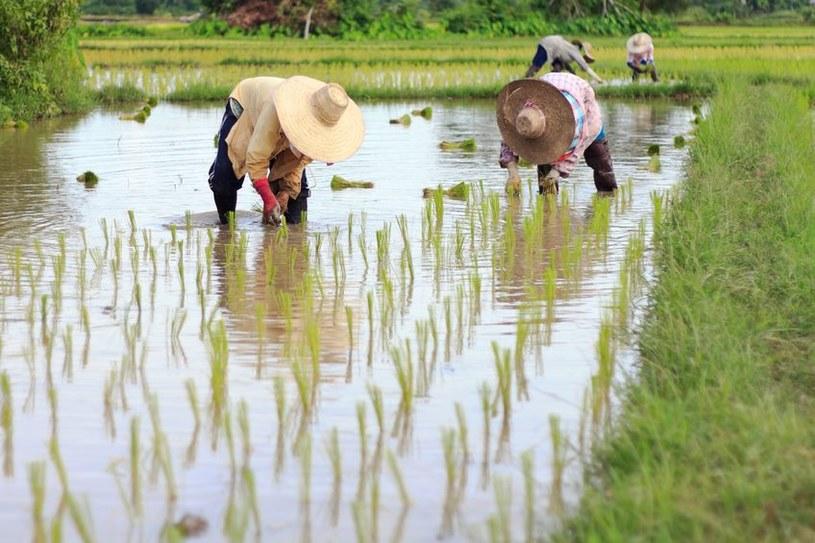 Chorobę Kawasakiego powodują drożdże z rodzaju Candida, które pochodzą z chińskich upraw ryżu? /123RF/PICSEL