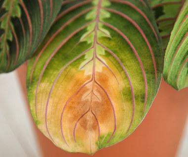 Choroby i szkodniki roślin doniczkowych
