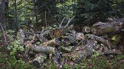 Chorzów: Marsz milczenia w obronie drzew. Inwestor odpowiada