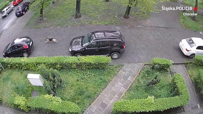 Chorzów: Pies przegryzał opony w zaparkowanych samochodach. /Policja