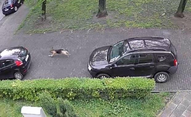 Chorzów: Policja tropiła wandala, który niszczył opony. Okazało się, że to... pies