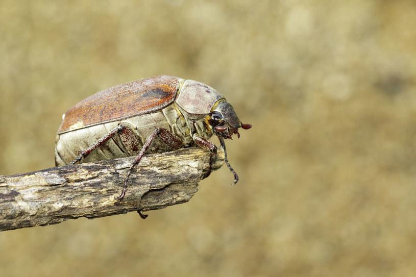 Chrabąszcz majowy /©123RF/PICSEL