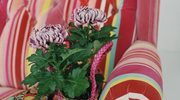 Chrysanthemum - kwieciste fajerwerki