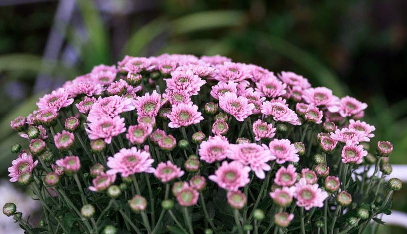 Chryzantema drobnokwiatowa /©123RF/PICSEL