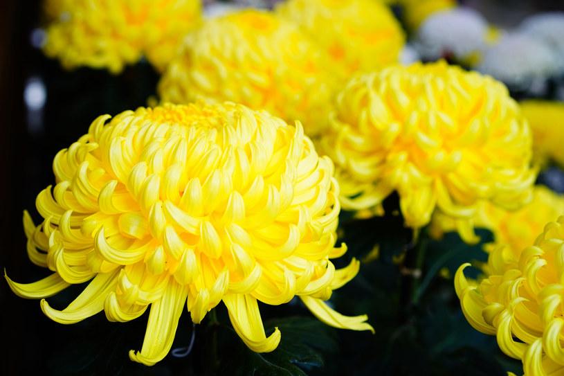 Chryzantemy przez wielu uważane są za najpiękniejsze kwiaty na cmentarz /123RF/PICSEL