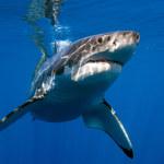Chrząstka rekina - mit o cudownym remedium na raka