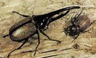 Chrząszcz Dynastes hercules, z lewej samiec, z prawej samica /Encyklopedia Internautica
