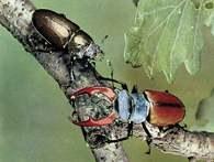 Chrząszcz jelonek rogacz, z lewej samica, z prawej samiec /Encyklopedia Internautica