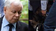 Chwila nieuwagi i... kot Kaczyńskiego dał drapaka! Pracownik od razu ruszył w pogoń za zbiegiem!