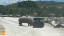 Chwile grozy w parku safari. Nosorożec próbował przewrócić samochód