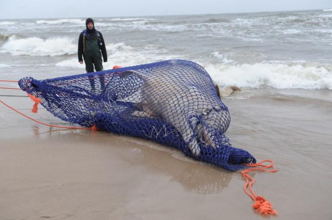Ciało wieloryba leżało na plaży od piątku /Marcin Bielecki /PAP