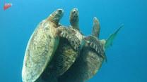 Ciekawa scena z podwodnego świata. Żółwie morskie i jazda na gapę
