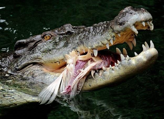 Ciekawe, ile wspólnego ze swym przodkiem mają współczesne krokodyle... /AFP