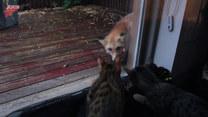 Ciekawe koty spotkały lisa. Dzieliła ich szyba