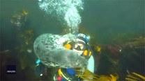Ciekawska foka sama przytula się do nurka
