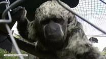Ciekawska małpka z parciem na szkło