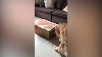 Ciekawski pies przywitał nowych domowników. Urocze