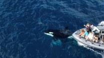 Ciekawskie orki sprawiły turystom prawdziwą frajdę