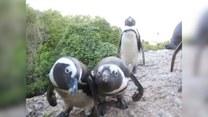 Ciekawskie pingwiny pozują przed kamerą