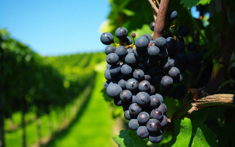 ciemne winogrona /© Photogenica