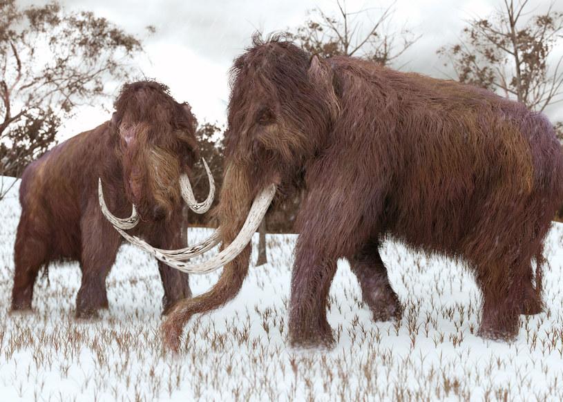 Cios znaleziony w stawie przed dwoma laty należał do młodocianego osobnika mamuta włochatego /123RF/PICSEL