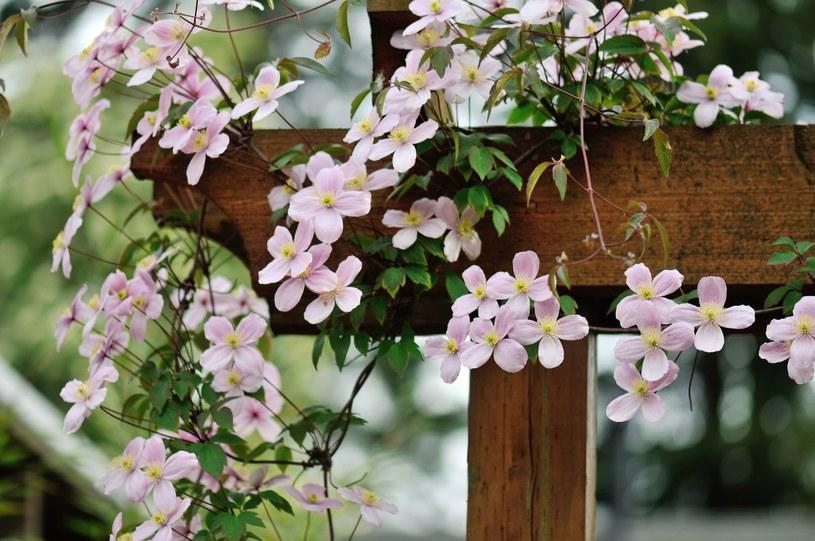 Clematis ma trujące liście i kwiaty /123RF/PICSEL