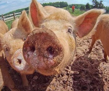 Co łączy Google i fermę świń?