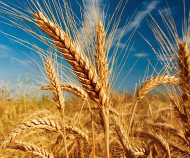 Co łączy pszenicę z chorobami autoimmunologicznymi?