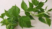 Co leczą świeże liście i pędy?