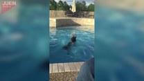 Co robi mały pies, gdy duży wskakuje do basenu?