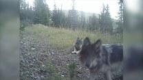 """Co robią wilki gdy """"nikt"""" nie patrzy?"""