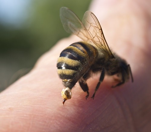 Co robić, gdy użądli nas pszczoła? /©123RF/PICSEL