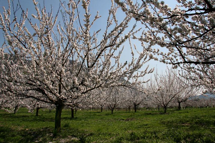 Co roku zakwita tam 100 000 drzew morelowych /materiały prasowe