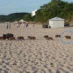 Co ten mały dzik zabrał na plażę? Przyjrzyjcie się dokładnie!