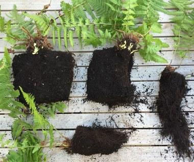 Co to jest korzeń paproci?
