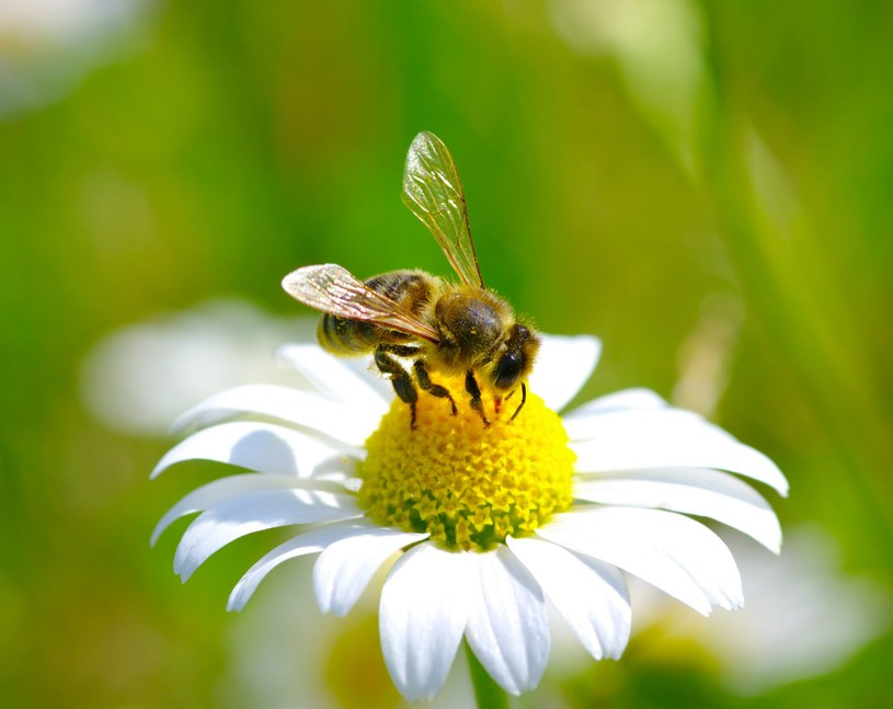 Co trzeci posiłek, który jemy, pochodzi od pszczół /123RF/PICSEL