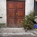 Co zrobić z żywą choinką po świętach? Nie trzeba jej od razu wyrzucać