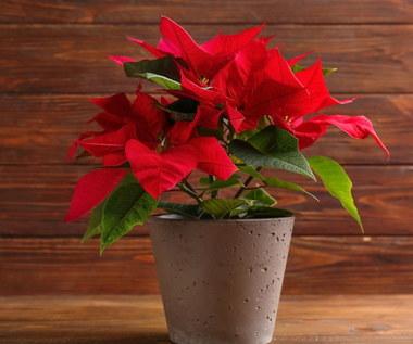 Co zrobić, żeby rośliny nie zmarniały w czasie świąt?