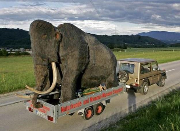 Cokolwiek kryje się za tym zdjęciem, to nie my stoimy za pogromem mamutów /AFP