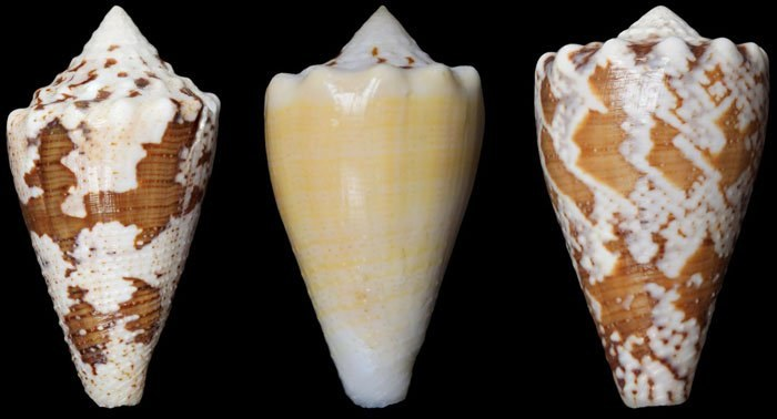Conus regius /materiały prasowe