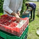 Coraz mniej Polaków pracuje sezonowo w Belgii. Pracodawcy zaczynają się więc uczyć... rumuńskiego