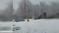 Corgi zafascynowany śniegiem