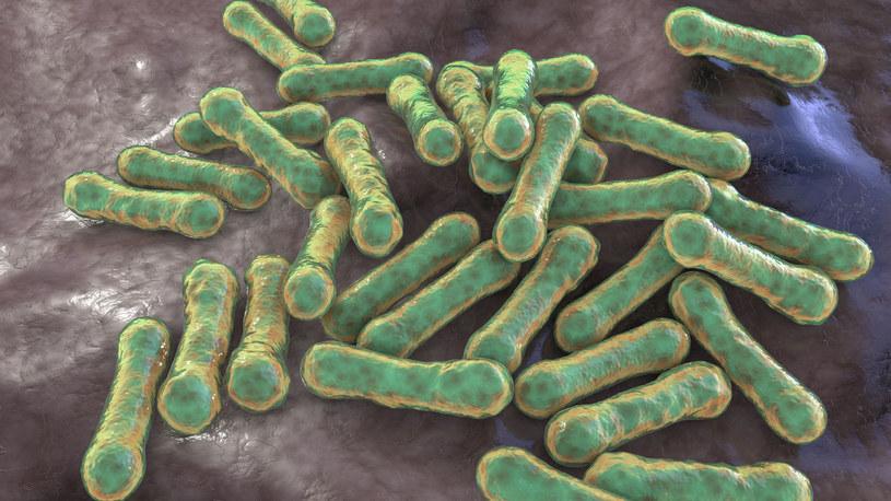 Corynebacterium diphtheriae - bakterie wywołujące błonicę /123RF/PICSEL